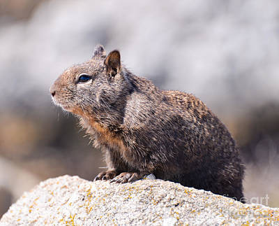 California Ground Squirrel Poster
