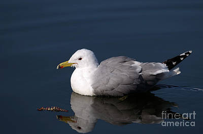 Poster featuring the photograph California Gull by Sharon Talson