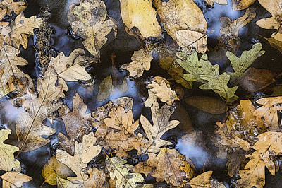 Poster featuring the photograph California Oak Leaves  by Sherri Meyer
