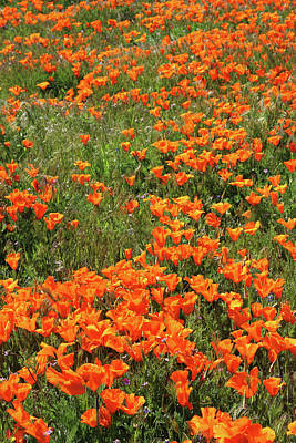 Poster featuring the mixed media California Poppies- Art By Linda Woods by Linda Woods
