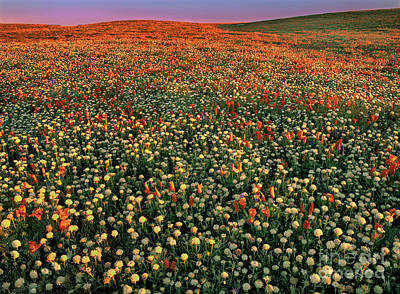 Poster featuring the photograph California Poppies At Dawn Lancaster California by Dave Welling