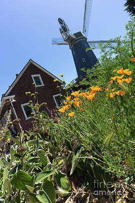 Poster featuring the photograph California Poppies At The Murphy Windmill San Francisco Golden Gate Park San Francisco Ca Dsc6353 by San Francisco Art and Photography