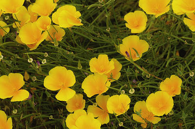 Poster featuring the photograph California Poppies by Sherri Meyer