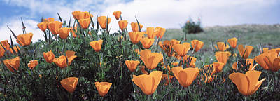 California Poppy Napa Valley Ca Poster by Panoramic Images