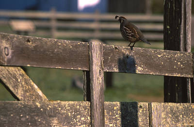 California Quail - Pierce Ranch Poster by Soli Deo Gloria Wilderness And Wildlife Photography