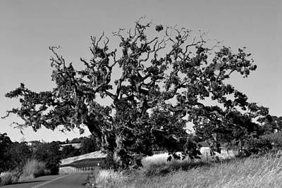 California Roadside Tree - Black And White Poster