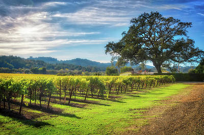 California Wine County - Sonoma Vineyard And Lone Oak Tree Poster by Jennifer Rondinelli Reilly - Fine Art Photography