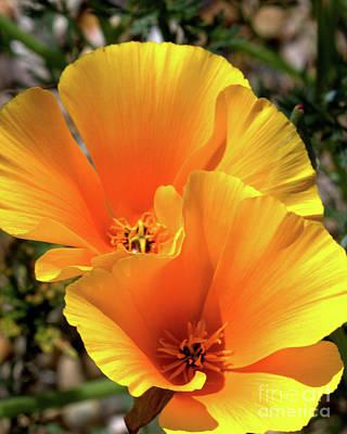 Californian Poppy Poster by Stephen Melia