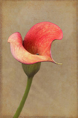 Calla In Red Poster