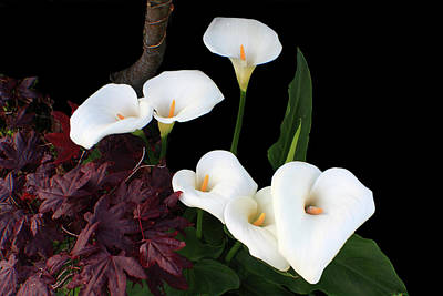 Calla Lilies In Spring Poster