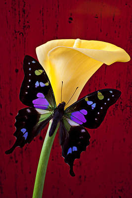 Calla Lily And Purple Black Butterfly Poster by Garry Gay