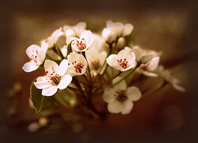 Callery Pear Poster