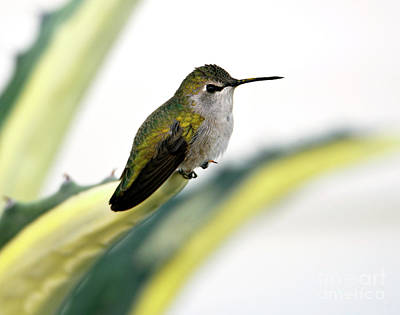 Calliope Hummingbird On Agave Poster