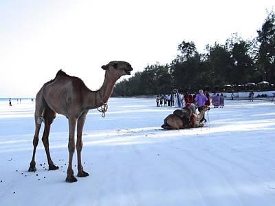 Camel On Beach Kenya Wedding 5 Poster
