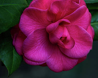 Camellia Passion Poster