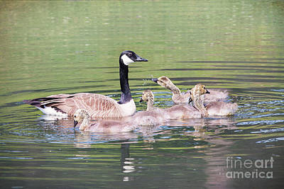 Canada Geese Bathtime Poster by Sharon McConnell