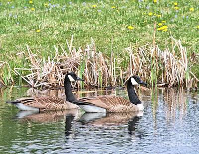 Poster featuring the photograph Canada Geese by Debbie Stahre
