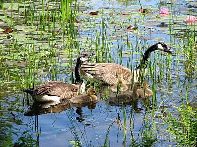 Canada Geese Family On Lily Pond Poster