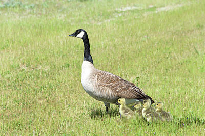 Canada Geese, Mother And Babies Poster