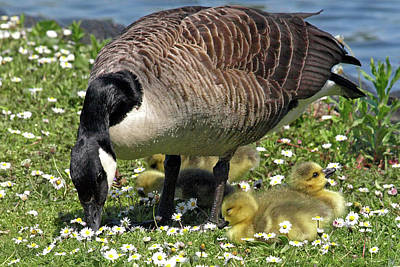 Canada Goose And Goslings Poster by Gill Billington