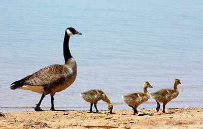 Canada Goose And Goslings On Beach Poster by Sheila Brown