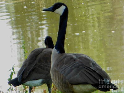 Canada Goose Edge Of Pond Poster
