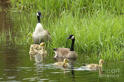 Canada Goose Family 1 Poster by Sharon Talson