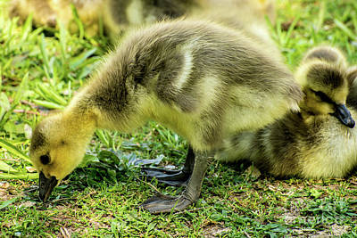 Canada Goose Gosling Poster by Gary Whitton