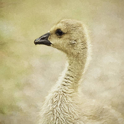 Canada Goose Gosling Photo Art  Square Poster by Sharon Talson