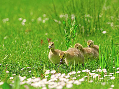 Poster featuring the photograph Canada Goose Goslings In A Field Of Daisies by Sharon Talson