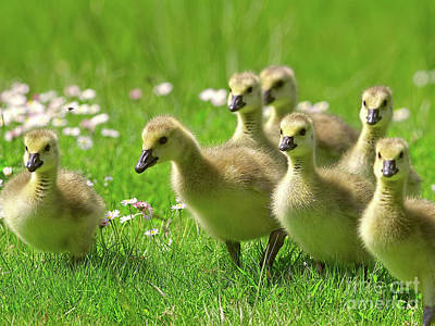 Canada Goose Goslings Poster by Sharon Talson