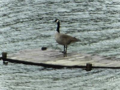 Canada Goose Lake Dock Poster