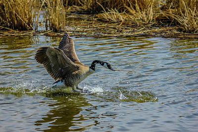 Canada Goose Takes Flight, Frank Lake, Alberta, Canada Poster
