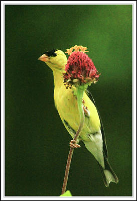 Goldfinch And Zinnia Plant Poster