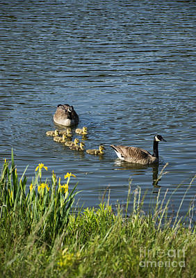 Canadian Geese And Goslings Poster by John Greim