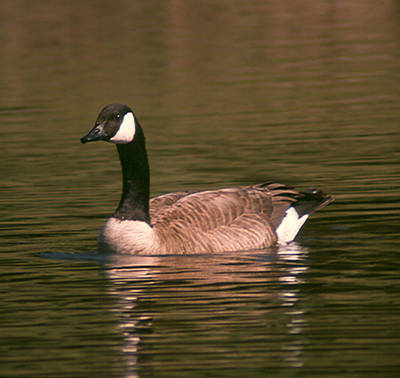 Poster featuring the photograph Canadian Goose by Bonnie Muir