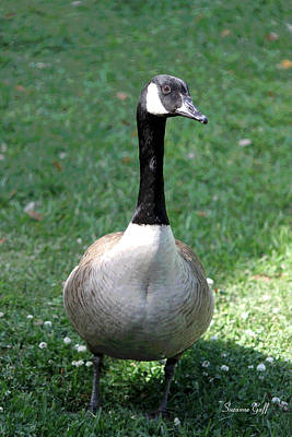 Canadian Goose In The Lowcountry Poster by Suzanne Gaff