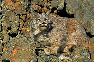 Poster featuring the photograph Canadian Lynx On Lichen-covered Cliff Endangered Species by Dave Welling