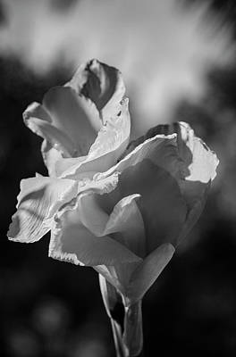 Canna Lily In Black And White Poster