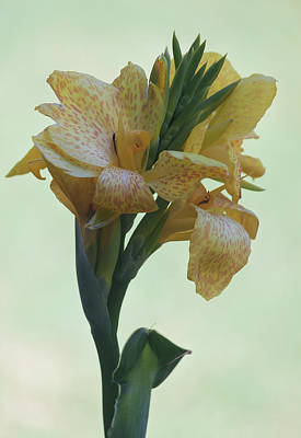Cannas Amarillo IIi Poster by Suzanne Gaff