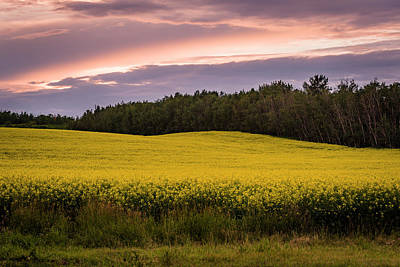 Poster featuring the photograph Canola Crop Sunset by Darcy Michaelchuk