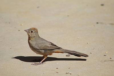 Canyon Towhee Begs Poster