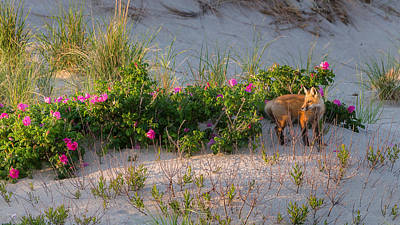 Cape Cod Beach Fox Poster
