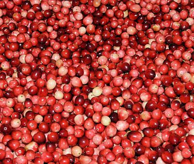 Cape Cod Cranberries Poster
