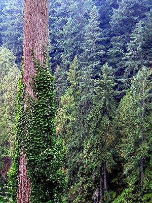 Capilano Canyon Ivy Poster by Will Borden