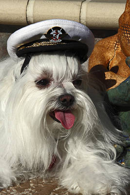 Captain Maltese Dog Poster