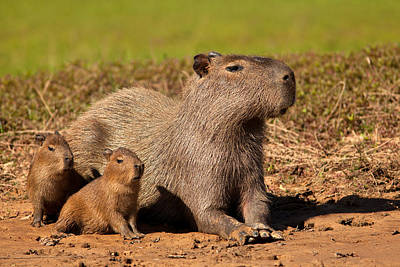 Capybara Family Enjoying Sunset Poster