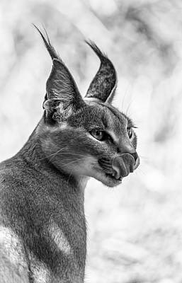 Caracal Licking Its Lips.  Poster