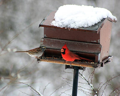 Cardinal And Sparrow At Feeder Poster by George Jones