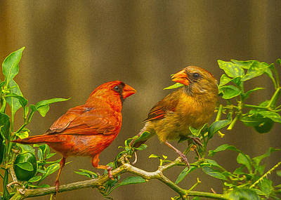 Cardinal Courtship Poster by Linda Murdock